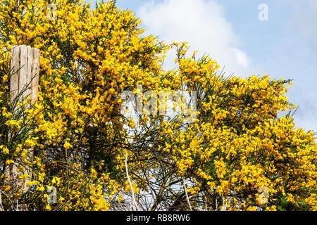Ginster (cytisus Scoparius) in Blume in der Brenne im Zentrum von Frankreich. - Stockfoto