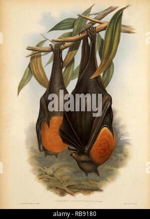 Gray-Headed Flying Fox, Pteropus poliocephalus - Stockfoto