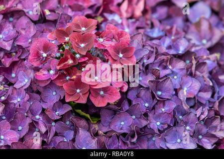 Hydrangea deep purple in voller Blüte schließen_up - Stockfoto