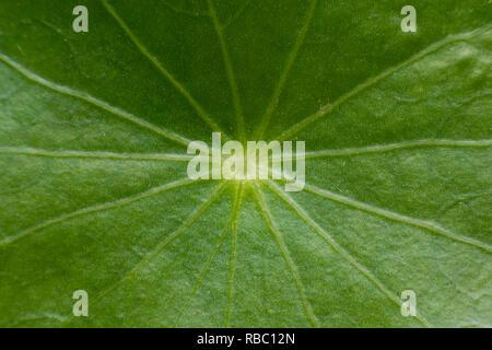 Nahaufnahme von grünen Blättern des Grünen asiatischen Pennywort Hydrocotyle (Centella asiatica, Umbellata L oder Wasser Pennywort) - Stockfoto