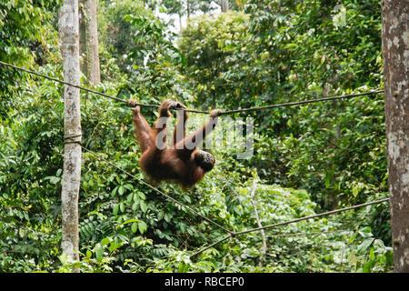 Bornesischen Orang-utan hängen von Kabel im Wald bei Sepilok Orang Utan Rehabilitation Center, Sandakan, Sabah (Borneo), Malaysia - Stockfoto