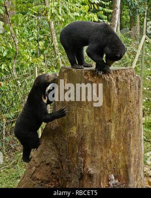 Malayan sun Bären klettern auf baumstumpf an Bornesischen Sun Bear Conservation Centre, Sandakan, Sabah (Borneo), Malaysia - Stockfoto