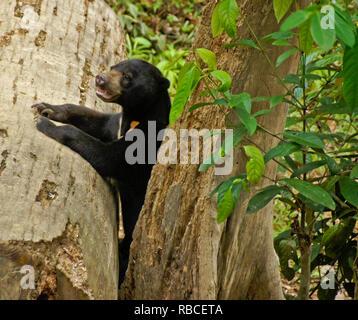 Malayan sun bear Klettern auf Baum an Bornesischen Sun Bear Conservation Centre, Sandakan, Sabah (Borneo), Malaysia - Stockfoto