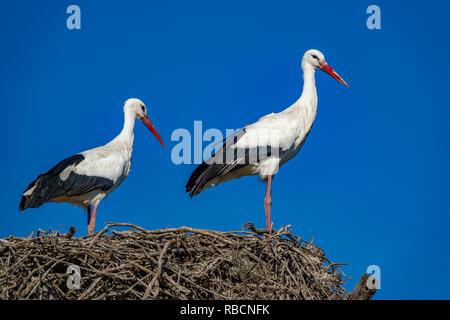 Störche auf Nest gegen den blauen Himmel - Stockfoto