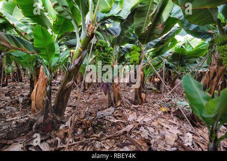 Bananenplantage in Teneriffa, Kanarische Inseln, Spanien. - Stockfoto