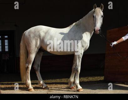 Reine Spanische Pferd oder PRE, Portrait gegen dunkle stabiler Hintergrund - Stockfoto