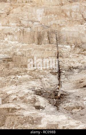 Tote Bäume im Minerva Terrace in Mammoth Hot Springs im Yellowstone-Nationalpark, Wyoming. - Stockfoto
