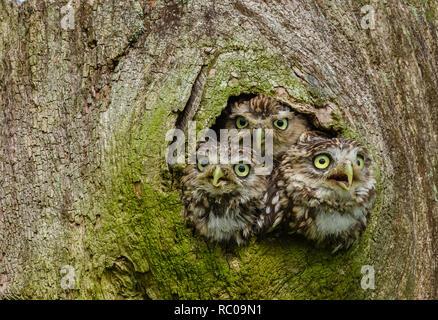 Wenig Eulen in einen Baumstamm. Drei kleine Eulen in der hohlen Baum. Kleine Eule ist der Name der Spezies und nicht auf die Größe der Eule. - Stockfoto