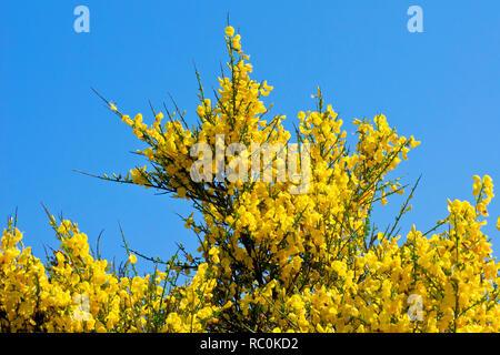 Ginster (cytisus Scoparius), ein Bild von der Strauch als es explodiert in Blume gegen einen klaren blauen Himmel. - Stockfoto