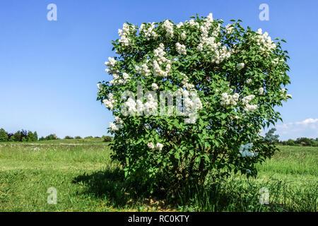 Weißer Flieder, Syringa vulgaris 'Madame Casimir Perier' - Stockfoto