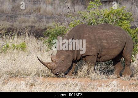 Weiße Nashörner (Rhinocerotidae)), Wandern erwachsenen männlichen, Fütterung auf trockenes Gras, mit einem Red-billed oxpecker (Buphagus erythrorhynchus) hängen an seinen - Stockfoto