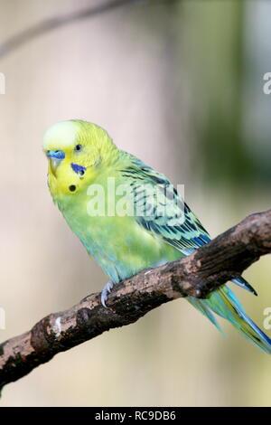 Wellensittich (Melopsittacus undulatus) ist ein kleiner Papagei in Australien vorkommenden - Stockfoto