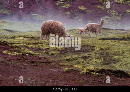 Alpakas in der wunderschönen Roten Tal, Cusco, Peru - Stockfoto