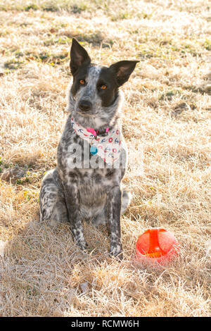 Schwarze und weiße Texas Heeler dog sitting im frostigen Morgen Gras im Winter Sonne neben ihrer Kugel, betteln Sie mit einem geneigten Kopf zu spielen - Stockfoto