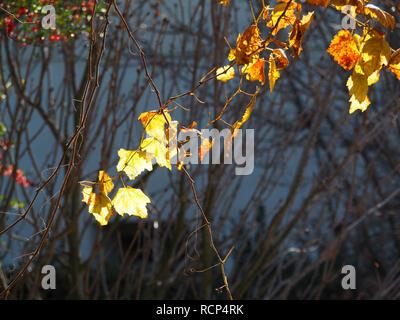 Gelbe ahorn Blätter an den Reben im Chinesischen Garten an der Huntington Library Links - Stockfoto
