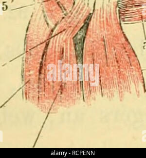 """. Die Anatomie des Frosches; ein Handbuch für Physiologen, Ãrzte und Studire. r a d IL AI> 5 pI,"""". Fiir. 70.. Bitte beachten Sie, dass diese Bilder sind von der gescannten Seite Bilder, die digital für die Lesbarkeit verbessert haben mögen - Färbung und Aussehen dieser Abbildungen können nicht perfekt dem Original ähneln. extrahiert. Ecker, Alexander, 1816-1887. - Stockfoto"""