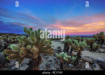 Cholla Cactus Garden im Joshua Tree National Park bei Sonnenuntergang - Stockfoto