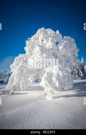 Schnee Baum, Gaisberg, Salzburg, Österreich - Stockfoto
