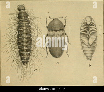 Elementare Entomologie Abb 204 Der Teppich Kafer Oder Buffel