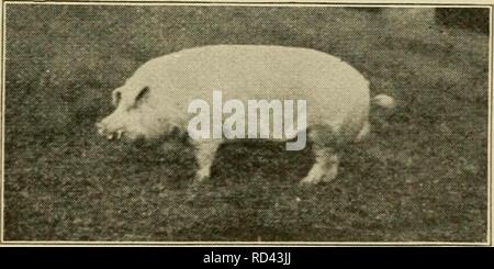 . Elementare Landwirtschaft. Die Landwirtschaft. Kapitel V SCHWEINEN Verbesserung der Hog. Schweine, wie die meisten anderen Do mestic Tiere, waren nach Amerika von Europa brachte. Die meisten Rassen von Fetten Schweine haben sich hier entwickelt. Durch die sorgfältige Auswahl und halten die besten Schweine die Bauern die feinen Rassen gebildet zu haben - Tag ganz anders von der heftigen Wildschwein. Die wild Hog nicht Nehmen auf Fett, aber unsere heimischen Rassen in bemerkenswert kurzer Zeit mästen. Die hog yiel^ ls Fleisch zu niedrigeren Kosten, als für jedes andere Tier, wenn er ist gut gepflegt und prop-erly zugeführt. Intelligente Landwirte nicht anheben scrub Schweine, die Ar - Stockfoto