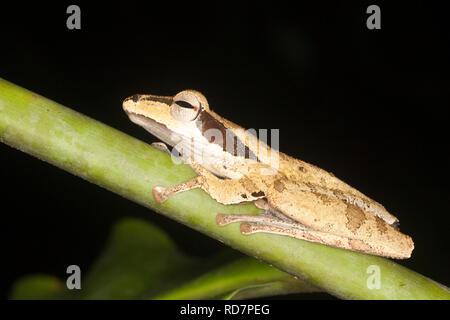Dunkel-Schmuckschildkröte Laubfrosch (Polypedates Macrotis) im Regenwald bei Nacht - Stockfoto