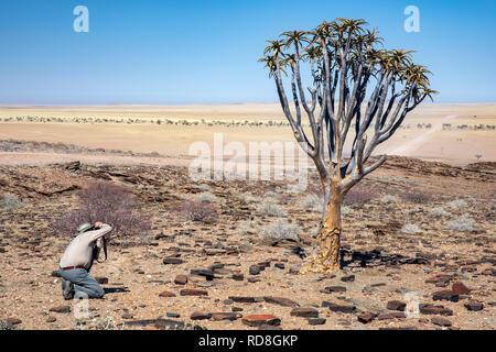 Mann fotografieren Köcherbaum oder Köcherbaum (Aloe dichotoma) in die Wüste Namib in der Nähe des Kuiseb Canyon, Namibia, Afrika - Stockfoto