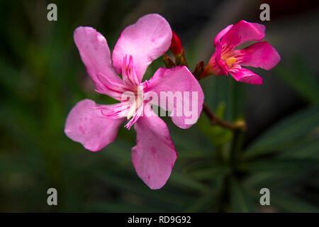 Rosa Oleander, Nerium oleander Blumen Blumen - Stockfoto