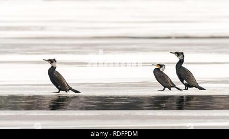 Drei Kormorane (Phalacrocorax carbo) stehen auf dem Eis eines zugefrorenen See (Wien, Österreich) - Stockfoto
