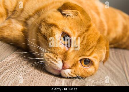 Scottish Fold rote Katze auf dem Boden - Stockfoto