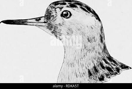 . Die Vögel von Illinois und Wisconsin. Vögel, Vögel. 94 Field Museum der natürlichen HistoryâZoology. Vol. IX. Â' (Di'iv;.. Bitte beachten Sie, dass diese Bilder sind von der gescannten Seite Bilder, die digital für die Lesbarkeit verbessert haben mögen - Färbung und Aussehen dieser Abbildungen können nicht perfekt dem Original ähneln. extrahiert. Cory, Charles B. (Charles Barney), 1857-1921. Chicago - Stockfoto