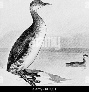 . Die Vögel von Illinois und Wisconsin. Vögel, Vögel. Die Vögel von Illinois und Wisconsin. Wasservögel, um PYGOPODES. Tauchen Vögel. Unterordnung COLYMBI. Familie COLYMBIDiE. Haubentaucher.. Bitte beachten Sie, dass diese Bilder sind von der gescannten Seite Bilder, die digital für die Lesbarkeit verbessert haben mögen - Färbung und Aussehen dieser Abbildungen können nicht perfekt dem Original ähneln. extrahiert. Cory, Charles B. (Charles Barney), 1857-1921. Chicago - Stockfoto