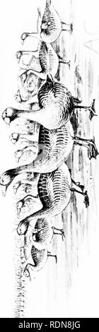 . Unerforscht Spanien. Jagd; Natural History. . Bitte beachten Sie, dass diese Bilder sind von der gescannten Seite Bilder, die digital für die Lesbarkeit verbessert haben mögen - Färbung und Aussehen dieser Abbildungen können nicht perfekt dem Original ähneln. extrahiert. Chapman, Abel, 1851-1929; Buck, Walter Johannes. gemeinsame Thema. London, E.Arnold - Stockfoto