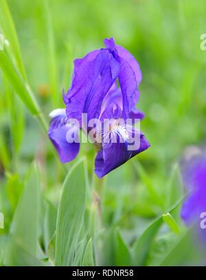 Blue Iris (Iris L.) im grünen Gras - Stockfoto