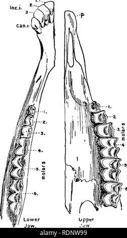 """. Wissenschaft von einem Sessel; eine zweite Reihe. Wissenschaft; Natural History. Der Schädel UND ZÄHNE VON ZIEGEN 151 und Prüfung auf London, Miss Bate gefunden, dass die angeblichen Ziegenknochen^ von ihr auf Mallorca gewonnen wurden. Abb. 22. - horizontale Ansicht der Zähne in der unteren und oberen Kiefer von der Ziege. Vor der Unterkiefer die Gruppe von drei Schneidezähne (Inc. I.) und ein Eckzahn ist gesehen, während die zahnlose knöcherne Platte {s.) des Oberkiefers, ag; nnst, die Sie arbeiten, wird in der rechten Hälfte der Abbildung. Die Backenzähne, """"Schleifer"""", oder backenzähne sind in jedem Kiefer nummeriert i 6. Wirklich tho - Stockfoto"""