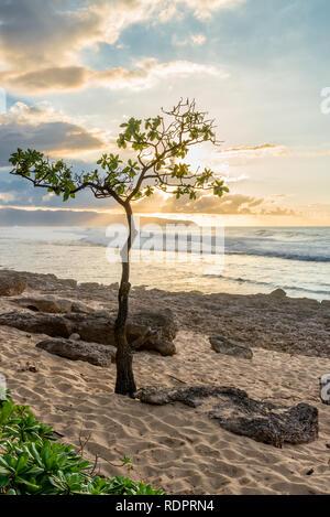 Regenschirm Baum an Rocky Point auf der North Shore von Oahu, Hawaii bei Sonnenuntergang mit hoher Brandung, sand, und Coral - Stockfoto