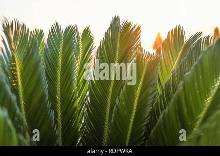 Close-up grüne Blätter der jungen Palme im Sonnenlicht. Stockfoto