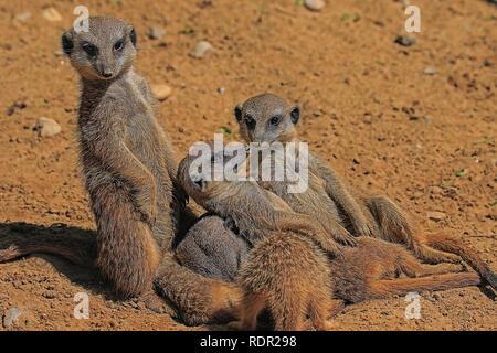 Gruppe von Erdmännchen im Augsburger Zoo - Stockfoto