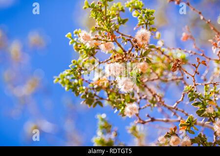 Kreosot bush (Larrea tridentata) Zweige und Samenkapseln, Joshua Tree National Park, Kalifornien - Stockfoto
