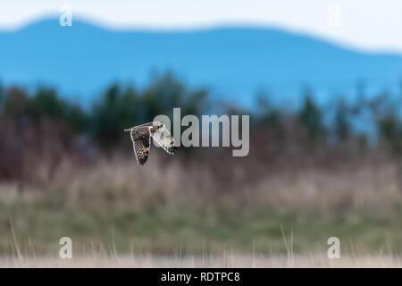Sumpfohreule (Asio Flammeus) im offenen Feld im pazifischen Nordwesten - Stockfoto