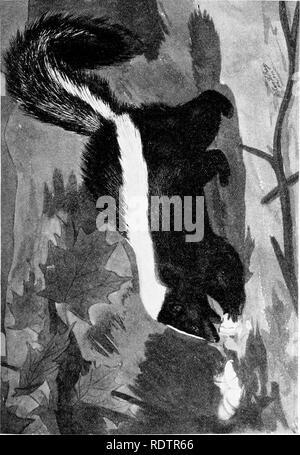 . [Gesammelt Nachdrucke, 1912-1919. Säugetiere; Säugetiere, Vögel. Feb., 1912. Säugetiere von Illinois und Wisconsin - Cory. 341. Bitte beachten Sie, dass diese Bilder sind von der gescannten Seite Bilder, die digital für die Lesbarkeit verbessert haben mögen - Färbung und Aussehen dieser Abbildungen können nicht perfekt dem Original ähneln. extrahiert. Cory, Charles B. (Charles Barney), 1857-1921. , N. n. - Stockfoto