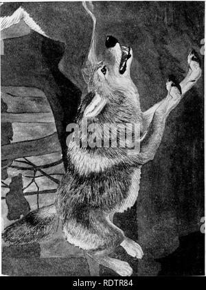 . [Gesammelt Nachdrucke, 1912-1919. Säugetiere; Säugetiere, Vögel. 314 Field Museum of Natural History - Zoologie, Vol. XI. Bitte beachten Sie, dass diese Bilder sind von der gescannten Seite Bilder, die digital für die Lesbarkeit verbessert haben mögen - Färbung und Aussehen dieser Abbildungen können nicht perfekt dem Original ähneln. extrahiert. Cory, Charles B. (Charles Barney), 1857-1921. , N. n. - Stockfoto