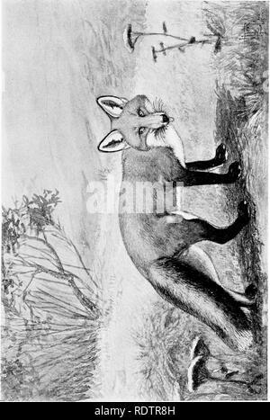 . [Gesammelt Nachdrucke, 1912-1919. Säugetiere; Säugetiere, Vögel. Februar igi 2. Säugetiere von Illinois und Wisconsin - Cory. 307. Bitte beachten Sie, dass diese Bilder sind von der gescannten Seite Bilder, die digital für die Lesbarkeit verbessert haben mögen - Färbung und Aussehen dieser Abbildungen können nicht perfekt dem Original ähneln. extrahiert. Cory, Charles B. (Charles Barney), 1857-1921. , N. n. - Stockfoto
