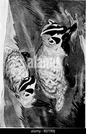 . [Gesammelt Nachdrucke, 1912-1919. Säugetiere; Säugetiere, Vögel. 350 Field Museum of Natural History - Zoologie, Vol. XI. Bitte beachten Sie, dass diese Bilder sind von der gescannten Seite Bilder, die digital für die Lesbarkeit verbessert haben mögen - Färbung und Aussehen dieser Abbildungen können nicht perfekt dem Original ähneln. extrahiert. Cory, Charles B. (Charles Barney), 1857-1921. , N. n. - Stockfoto