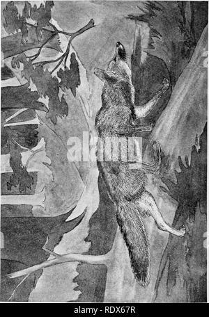 . [Gesammelt Nachdrucke, 1912-1919. Säugetiere; Säugetiere, Vögel. 302 Field Museum of Natural History - Zoologie, Bd. XL. Bitte beachten Sie, dass diese Bilder sind von der gescannten Seite Bilder, die digital für die Lesbarkeit verbessert haben mögen - Färbung und Aussehen dieser Abbildungen können nicht perfekt dem Original ähneln. extrahiert. Cory, Charles B. (Charles Barney), 1857-1921. , N. n. - Stockfoto
