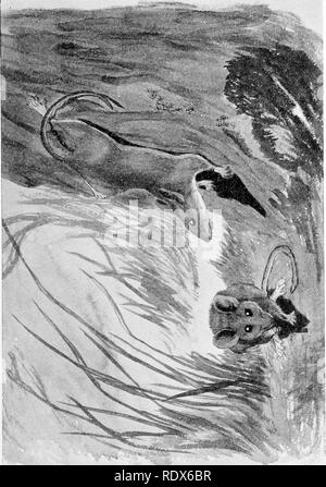 . [Gesammelt Nachdrucke, 1912-1919. Säugetiere; Säugetiere, Vögel. Feb., 1912. Säugetiere von Illinois und Wisconsin - Cory. 199. Bitte beachten Sie, dass diese Bilder sind von der gescannten Seite Bilder, die digital für die Lesbarkeit verbessert haben mögen - Färbung und Aussehen dieser Abbildungen können nicht perfekt dem Original ähneln. extrahiert. Cory, Charles B. (Charles Barney), 1857-1921. , N. n. - Stockfoto