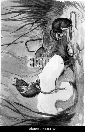 . [Gesammelt Nachdrucke, 1912-1919. Säugetiere; Säugetiere, Vögel. Feb., 1912. Säugetiere von Illinois und Wisconsin - Cory. 191. Bitte beachten Sie, dass diese Bilder sind von der gescannten Seite Bilder, die digital für die Lesbarkeit verbessert haben mögen - Färbung und Aussehen dieser Abbildungen können nicht perfekt dem Original ähneln. extrahiert. Cory, Charles B. (Charles Barney), 1857-1921. , N. n. - Stockfoto