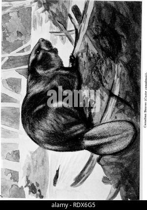 . [Gesammelt Nachdrucke, 1912-1919. Säugetiere; Säugetiere; Vögel. i6o Field Museum of Natural History - Zoologie, Vol. XI. Bitte beachten Sie, dass diese Bilder sind von der gescannten Seite Bilder, die digital für die Lesbarkeit verbessert haben mögen - Färbung und Aussehen dieser Abbildungen können nicht perfekt dem Original ähneln. extrahiert. Cory, Charles B. (Charles Barney), 1857-1921. , N. n. - Stockfoto