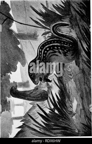 . [Gesammelt Nachdrucke, 1912-1919. Säugetiere; Säugetiere, Vögel. Feb., 1912. Säugetiere von Illinois und Wisconsin - Cory. 139. Bitte beachten Sie, dass diese Bilder sind von der gescannten Seite Bilder, die digital für die Lesbarkeit verbessert haben mögen - Färbung und Aussehen dieser Abbildungen können nicht perfekt dem Original ähneln. extrahiert. Cory, Charles B. (Charles Barney), 1857-1921. , N. n. - Stockfoto