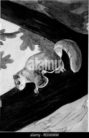 . [Gesammelt Nachdrucke, 1912-1919. Säugetiere; Säugetiere, Vögel. I04 Field Museum of Natural History - Zoologie, Vol. XI. Bitte beachten Sie, dass diese Bilder sind von der gescannten Seite Bilder, die digital für die Lesbarkeit verbessert haben mögen - Färbung und Aussehen dieser Abbildungen können nicht perfekt dem Original ähneln. extrahiert. Cory, Charles B. (Charles Barney), 1857-1921. , N. n. - Stockfoto
