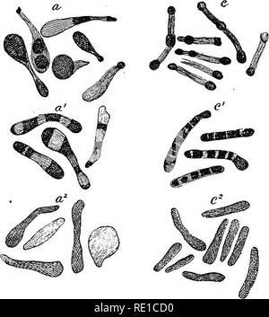 . Ein text-Buch auf die pathogenen Bakterien und Protozoen für Studenten der Medizin und Ärzte. Bakteriologie; pathogenen Bakterien und Protozoen. Kapitel XII DIPHTHERIE Bacillus Diphtherie (Klebs-Loffler) Synonyme.-- Bakterium diphtheriae-; Corynebacterium diphtheriae-, klebs-LofiBer Bazillus. Allgemeine Merkmale. - Eine nicht beweglich, nicht motivieren, nicht-sporogenous, nicht-cbromogenic, Aerogene, nicht verflüssigen, Aerobic, rein parasitären, Pathogene, toxicogenic bacSlus, Anbaufläche, auf der gewöhnlichen Nährmedien, Färbung, die von den gewöhnlichen Methoden und durch Gram's Methode. Im Jahr 1883 demonstrierten die Klebs * - Stockfoto